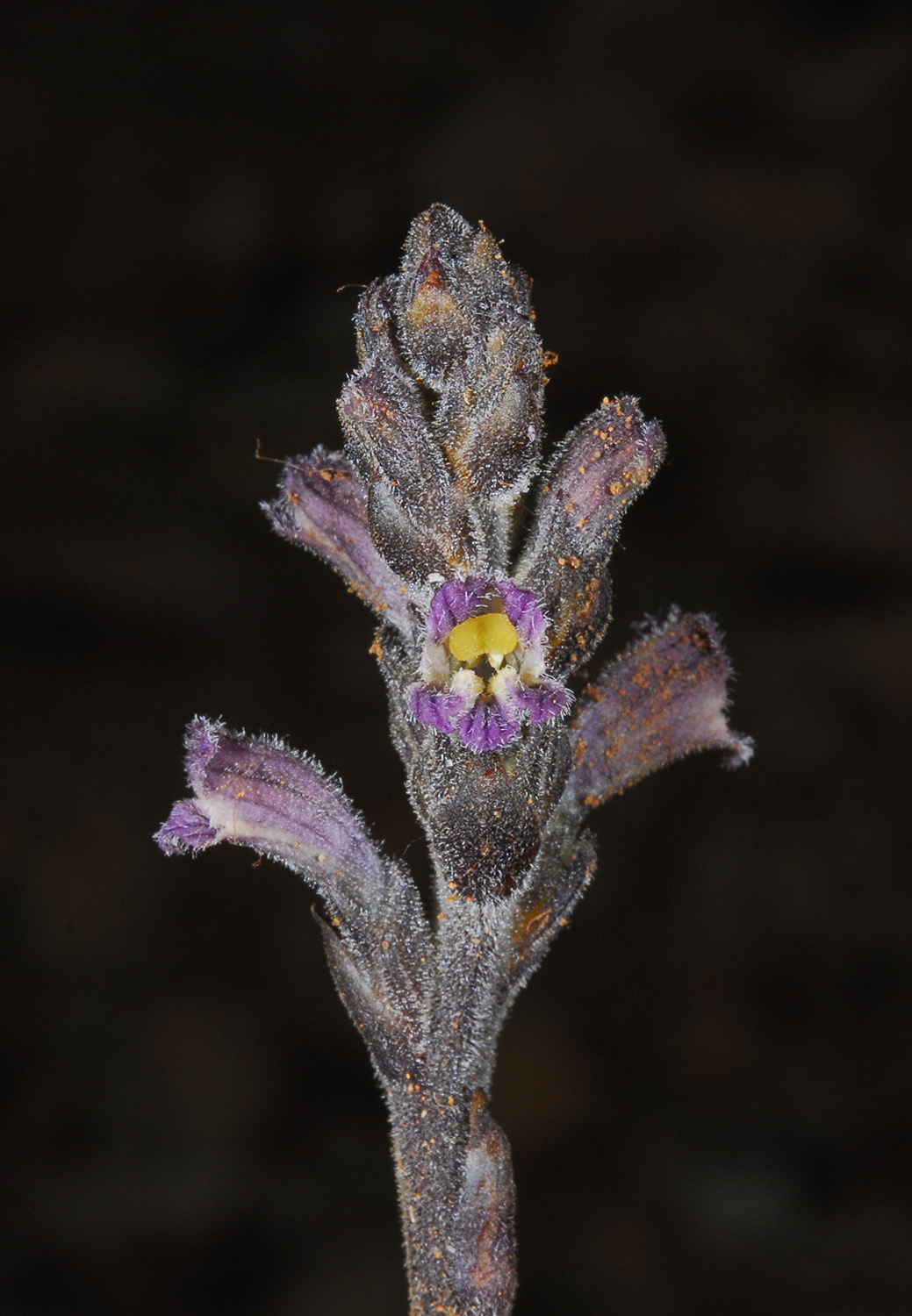 Orobanche Chionistra CSC 1237